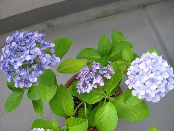 同じ茎から2種類の花が咲くアジサイ2