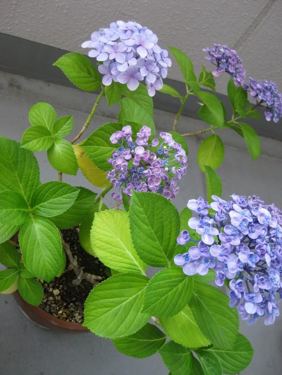 同じ茎から2種類の花が咲くアジサイ3