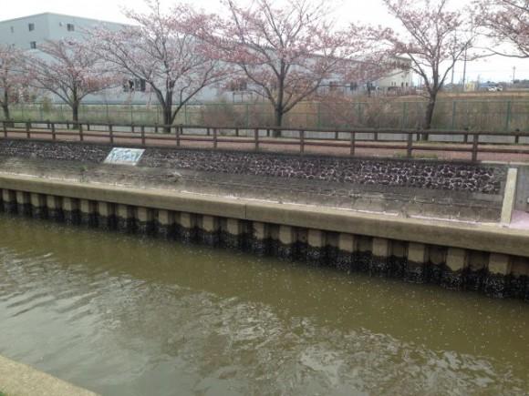 稲沢市平和町 桜ネックレスの開花状況(2016/4/8)