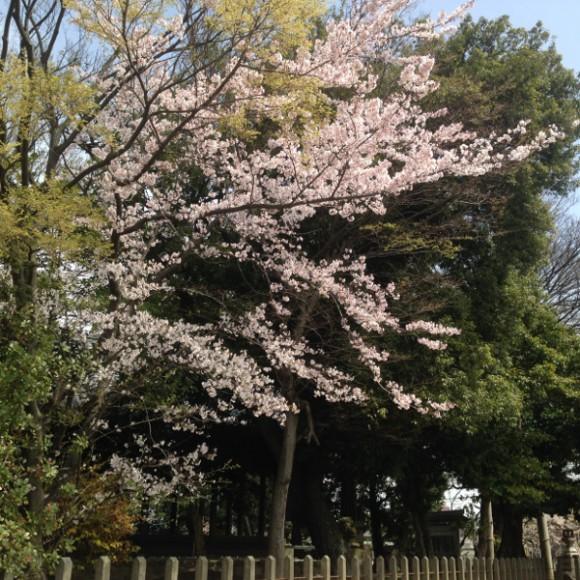 むさし寿司前の神社の桜